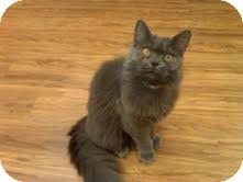 Domestic Mediumhair Cat for adoption in Medina, Ohio - Dorothy