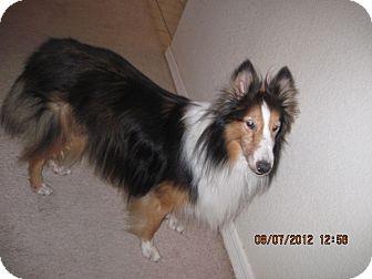 Sheltie, Shetland Sheepdog Dog for adoption in apache junction, Arizona - YODA
