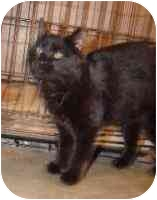 Domestic Mediumhair Cat for adoption in Hammonton, New Jersey - Carly