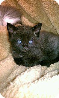 Domestic Shorthair Kitten for adoption in Orland Park, Illinois - Michelangelo