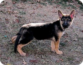 German Shepherd Dog Puppy for adoption in Cantrall, Illinois - Magnus