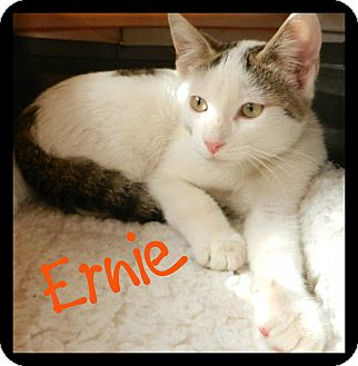 American Shorthair Cat for adoption in Orange, California - Ernie