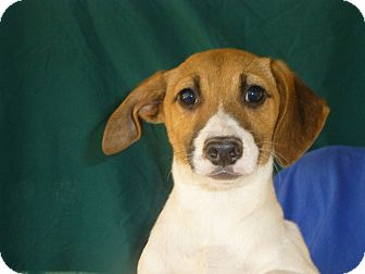 Beagle/Rat Terrier Mix Puppy for adoption in Oviedo, Florida - Prancer
