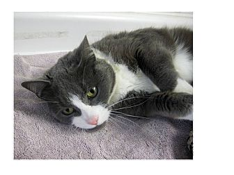 Domestic Shorthair Cat for adoption in North Kingstown, Rhode Island - MITTENS