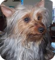 Silky Terrier Mix Dog for adoption in San Diego, California - Raymond