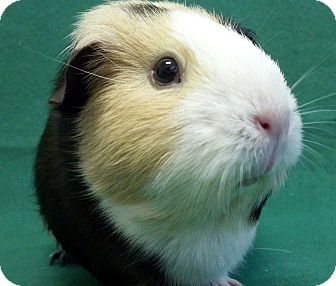 Guinea Pig for adoption in Lewisville, Texas - Amy