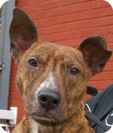 Pit Bull Terrier Mix Dog for adoption in Brooklyn, New York - Dallas