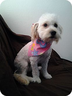 Poodle (Miniature)/Maltese Mix Puppy for adoption in San Diego, California - Luna