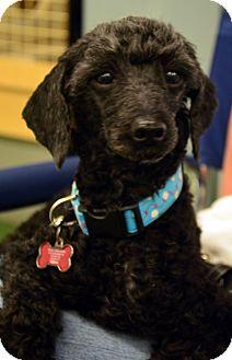 Poodle (Miniature) Dog for adoption in Bridgeton, Missouri - Enzo