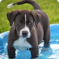 Adopt A Pet :: *Leo - PENDING - Westport, CT