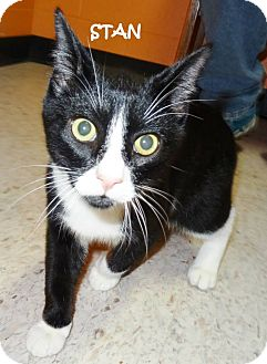 Domestic Shorthair Cat for adoption in Lapeer, Michigan - JOHN-URGENT!! SPONSORED!!