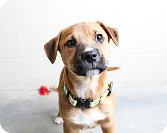 Shepherd (Unknown Type) Mix Puppy for adoption in Wilmington, Delaware - Percy