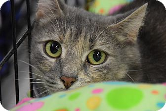 Domestic Mediumhair Cat for adoption in Highland Park, New Jersey - TANGLES