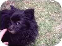 Pomeranian Dog for adoption in Chesapeake, Virginia - Gabbie