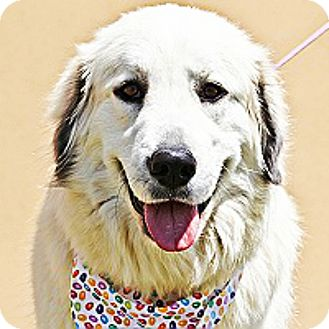 Great Pyrenees Mix Dog for adoption in Kyle, Texas - Brandy