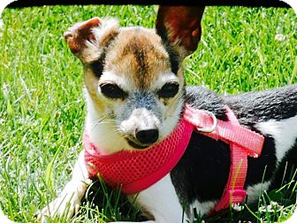 Rat Terrier/Chihuahua Mix Dog for adoption in Columbia Heights, Minnesota - Victoria