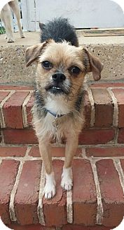Chinese Crested/Pug Mix Dog for adoption in New Oxford, Pennsylvania - Adler