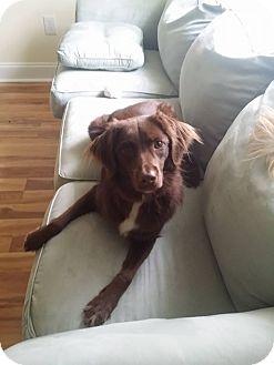 Labrador Retriever/Australian Shepherd Mix Dog for adoption in Metairie, Louisiana - Gypsy