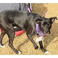 Adopt A Pet :: Comet - Tempe, AZ