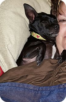 Rat Terrier Mix Dog for adoption in Rockford, Illinois - Chucho