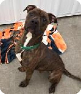 Pit Bull Terrier Mix Dog for adoption in Camano Island, Washington - Patriot