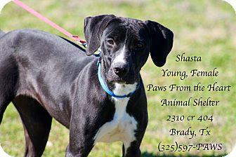 Great Dane Mix Dog for adoption in Buchanan Dam, Texas - Shasta