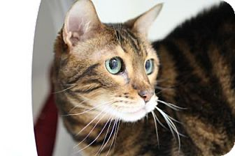 Bengal Cat for adoption in Reisterstown, Maryland - Isolde