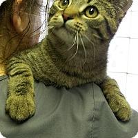 Adopt A Pet :: Tiger - Toledo, OH