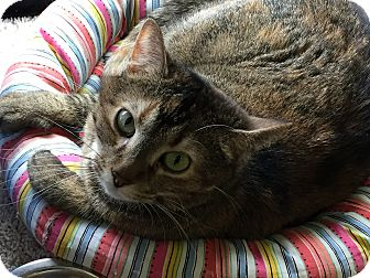 Domestic Shorthair Cat for adoption in Topeka, Kansas - Patches