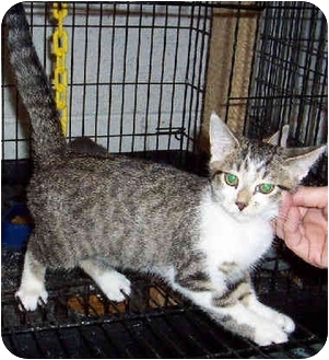 Domestic Shorthair Kitten for adoption in Blackstone, Virginia - Benji