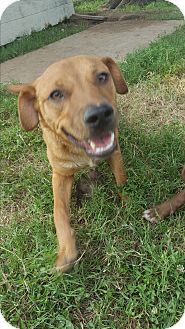 Retriever (Unknown Type)/Labrador Retriever Mix Dog for adoption in Eustace, Texas - Cody
