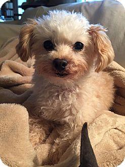 Tea Cup Poodle Mix Dog for adoption in Atlanta, Georgia - Winston