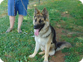 German Shepherd Dog Mix Dog for adoption in Greeneville, Tennessee - Rush