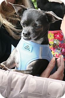 Chihuahua Mix Dog for adoption in Las Vegas, Nevada - Miller