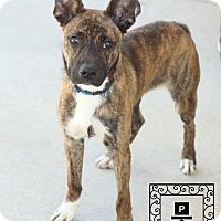 Adopt A Pet :: Boh - Fredericksburg, VA
