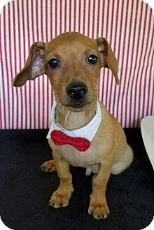 Dachshund Mix Puppy for adoption in Troutville, Virginia - Seger