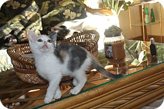Calico Kitten for adoption in St. Louis, Missouri - Theodora