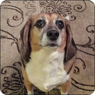 Beagle Dog for adoption in Oakland Gardens, New York - Sherlock