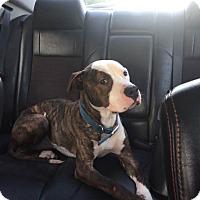Adopt A Pet :: Vann - Kill Devil Hills, NC