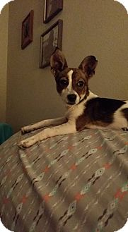 Rat Terrier Mix Dog for adoption in Snyder, Texas - Reagan