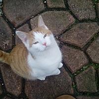 Adopt A Pet :: Norman - Virginia Beach, VA
