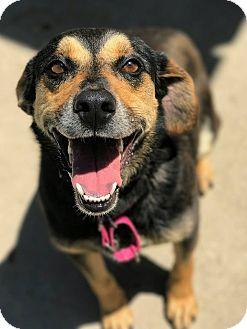 Shepherd (Unknown Type)/Beagle Mix Dog for adoption in Hanna City, Illinois - Dazzle