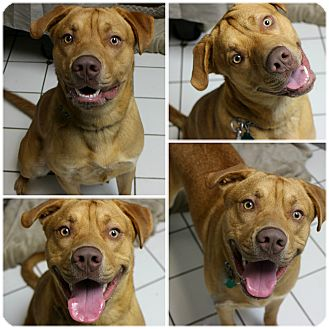 Labrador Retriever/Shepherd (Unknown Type) Mix Dog for adoption in Forked River, New Jersey - Baxter