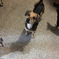 Harrier/Beagle Mix Dog for adoption in Fort Lauderdale, Florida - Buddy
