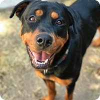 Adopt A Pet :: Pistol - LITTLETON, CO