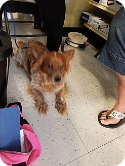 Corgi Mix Dog for adoption in Brownsville, Texas - Hank