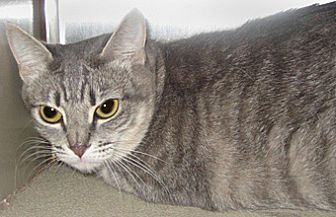 Domestic Mediumhair Cat for adoption in Wildomar, California - Misty