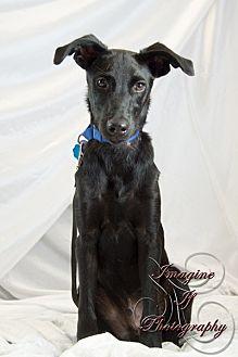 Labrador Retriever Mix Puppy for adoption in Newcastle, Oklahoma - Ryder
