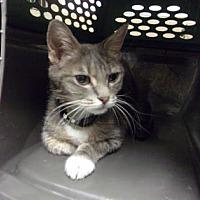 Adopt A Pet :: Kitty - Reno, NV