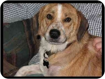 Australian Shepherd/Beagle Mix Dog for adoption in Northville, Michigan - Maggie